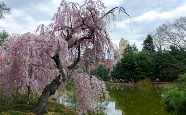 …(barely) saw the cherry blossoms at Brooklyn Botanic Gardens